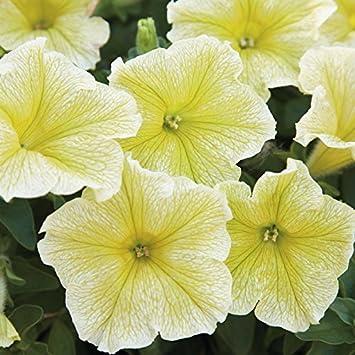 20 large bloom petunia seeds mirage yellow 6 9cm flowers flowering 20 large bloom petunia seeds mirage yellow 6 9cm flowers flowering from early spring mightylinksfo