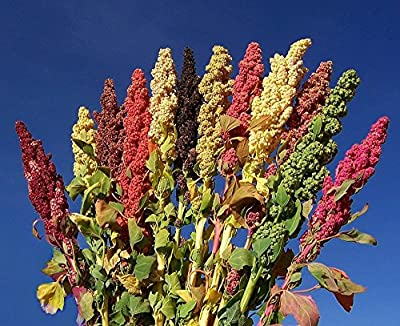 Brightest Brilliant Quinoa - 50 Seeds