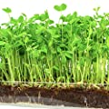 Microgreen Organic Pea Shoot 3 Pack Refill Pre Measured Soil Seed Use With Window Garden Multi Use 15 X 6 Planter Tray Easy And Convenient Enough To Sprout 3 Crops Of Superfood