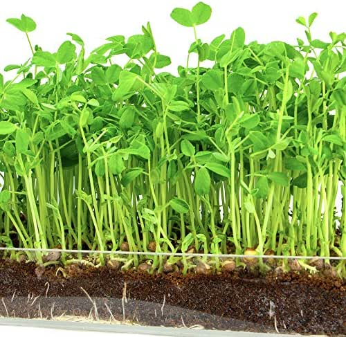 """Microgreen Organic Pea Shoot 3 Pack Refill KIT–Pre-Measured Soil + Seed, USE with Window Garden Multi-Use 15"""" x 6"""" Planter Tray. (Tray NOT Included). Enough to Sprout 3 Crops of Superfood."""
