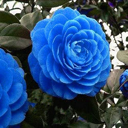 Amazon Com Rare Blue Camellia Seed Pots Flower Seeds Tree Plants