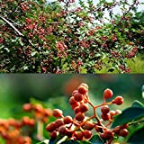 Go Garden 20Pcs: 20/50/100Pcs Garden Balcony Beautiful Bonsai Plants Sichuan Pepper Tree Lm 01