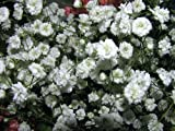 "BABY'S BREATH ""Gypsophila"" Double Flowered White 25-Perennial Seeds"