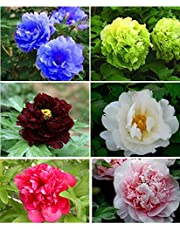 HATCHMATIC Seeds Package: 120 Peony Seeds 6 Colors Green Black Red Pink Peony Seed