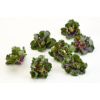 Autumn Star Hybrid Kalettes - 10 Seeds - New for 2015! : Garden & Outdoor