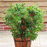 "Patio Raspberry ""Ruby Beauty"" Plant in 2 Litre Pot"