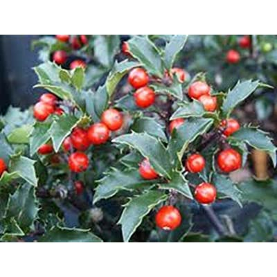 from Grandiosy Farm: China Girl Holly, Shiny Evergreen with red Berries, Four Plants, Ready to Ship : Garden & Outdoor