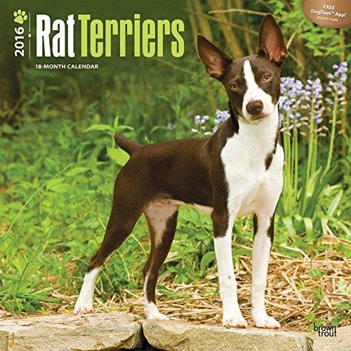 Rat Terriers - 2016 Calendar 12 x 12in