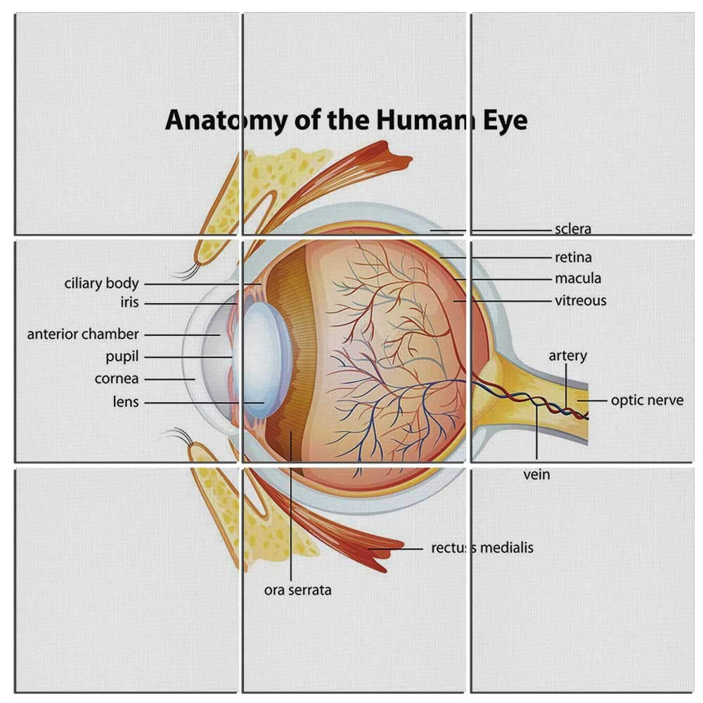 Amazon Iprint 9 Piece Educational Mural On Wood Human Eye