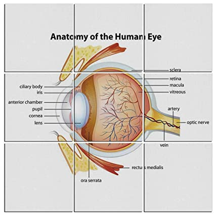Amazon.com: iPrint 9-Piece Educational Mural on Wood, Human Eye ...