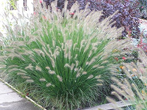 4 Bare Root of Pennisetum Alopecuroides 'Hameln' - Dwarf Fountain Grass