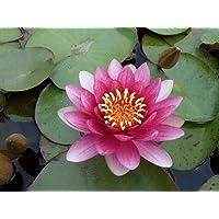 Wasserpflanzen Wolff - Nymphaea 'Attraction' im Pflanzkorb - Seerose, rot