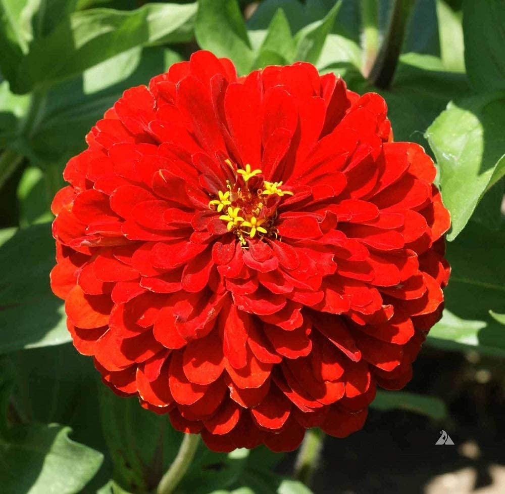 David's Garden Seeds Flower Zinnia Solid Color Scarlet Flame 1169 (Red) 500 Non-GMO, Heirloom Seeds