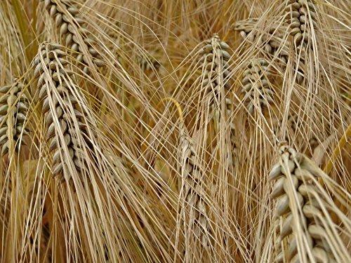 Quality Prints - Laminated 32x24 Vibrant Durable Photo Poster - Cereals Barley Grain Cornfield Barley Field Agriculture Food Spike Macro Nourishing Barley Bread Mueslie Bakery Flour Kitchen Vegan