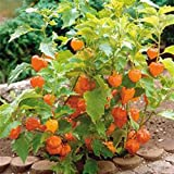 CHINESE LANTERNS -(3) Live Plants-Organic Heirloom Hardy Perennial Flower