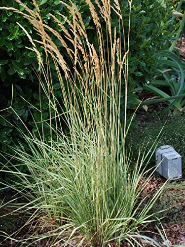 Perennial Farm Marketplace Calamagrostis a. 'Overdam' ((Feather Reed) Ornamental Grasses, Size-#1 Container, Variegated Foliage Yellow Spikes