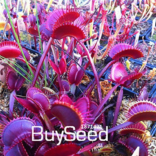 New Arrival!100 PCS/Pack Red Dragon Flytrap Seed Bonsai Potted Dionaea Muscipula Plant Seed Terrace Garden Carnivorous Plant,#N2