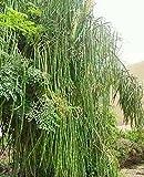 Indian Agri Farm Moringa Seeds - Odc Variety , 500 Nos