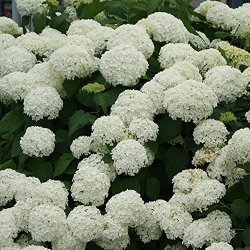 10pcs-precious-garden-white-hydrangea-seeds-deer-resistant-easy-grow-flower