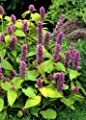 TROPICA - Korean Mint (Agastache rugosa 'Blue Spike') – 200 Seeds - Herbs