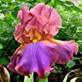 (2) Supreme Bearded Iris Mix, Roots, Bulbs, Plants, Incredible Reblooming Irises Nice addition to any Garden