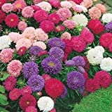 China Aster Seeds - Giants of California - Packet, Pink/White/Purple Flowers