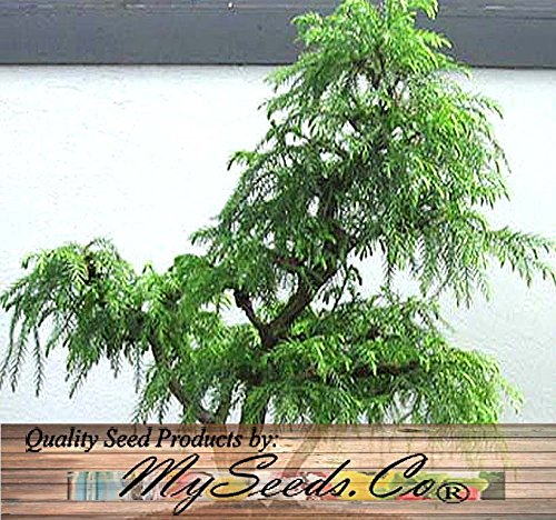 Sacred Japanese Cedar 35 Seeds - Cryptomeria japonica