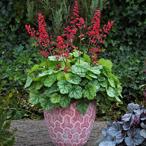 (Mini Garden heuchera Dolce Appletini Green red Coral Bells 2.5