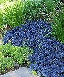 Stonecrop aka Sedum x 'Blue Pearl' Live Plant Fit 1 Gallon Pot