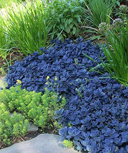 Stonecrop aka Sedum x 'Blue Pearl' Live Plant Fit 1 Gallon Pot