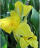 Beautiful Yellow Flowering Canna Lily Fresh Top Size Rhizome/Bulb/Plant