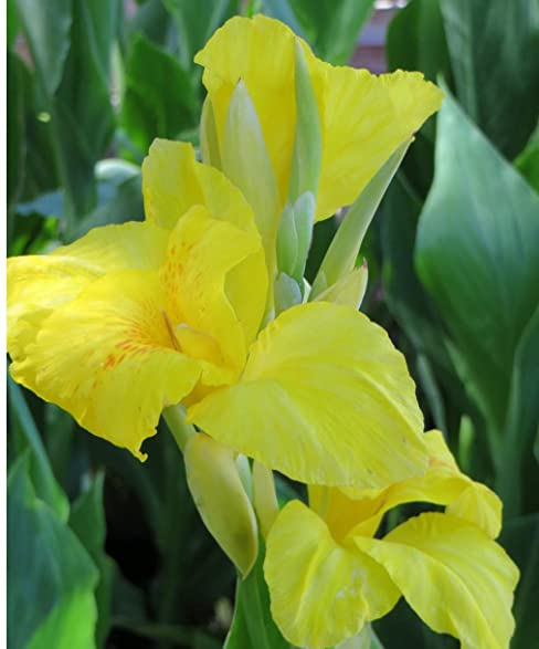 Amazon beautiful yellow flowering canna lily fresh top size beautiful yellow flowering canna lily fresh top size rhizomebulbplant mightylinksfo