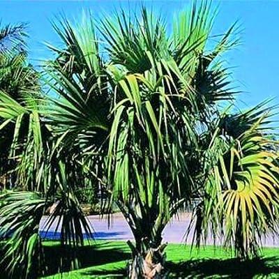 SABAL MINOR DWARF BLUESTEM PALMETTO cold hardy 10 seeds : Tree Plants : Garden & Outdoor