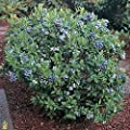 Premier Rabbiteye Blueberry ( Vaccinium ) - Well Established Plant - Trade Gallon Pot