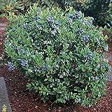 Premier Rabbiteye Blueberry ( Vaccinium ) - Well Established Plant - Trade Gallon Pot