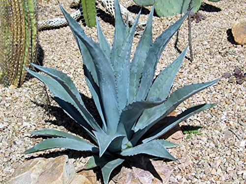 1 Starter Plant Agave Century Plant in 3.5'' Pot