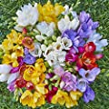 15 Single Mixed Freesias Bulbs - Top Size Bulbs
