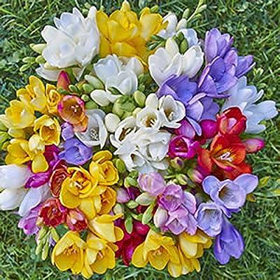 15 Single Mixed Freesias Bulbs - Top Size Bulbs