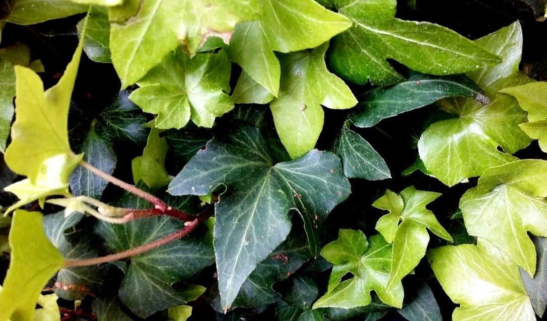 Plant Cuttings 10 Cuttings Ruffled Wavy Crested Hedera Helix Green English Ivy Vine Live Plant #Nll01yn