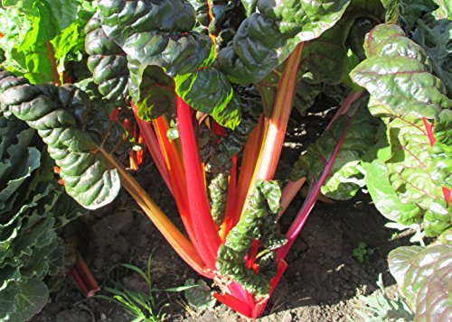 Rhubarb plants is a species edible plant .