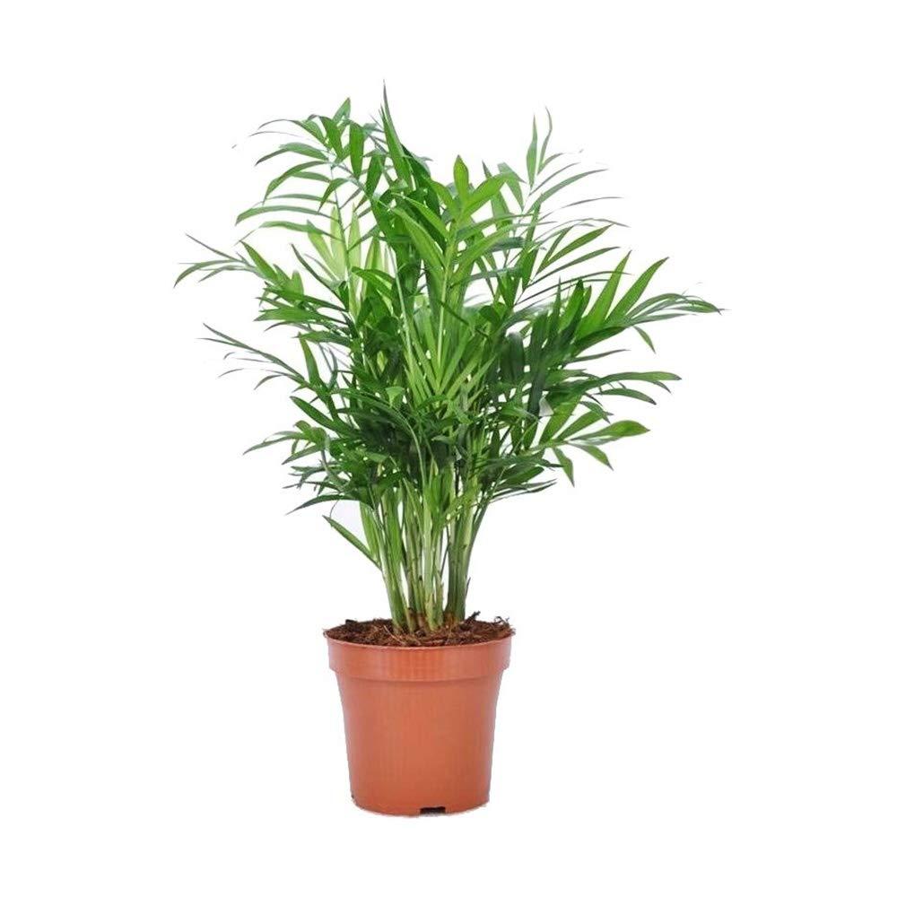 AMERICAN PLANT EXCHANGE Chamaedorea Elegans Victorian Parlour Palm Live Plant, 6'' Pot, Indoor/Outdoor Air Purifier