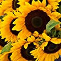 "Sunflower ""Mammoth Grey-Stripe"" Seeds"