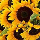 Sunflower Seeds - Mammoth Grey-Stripe - 5 Pounds, Bulk, Mixed