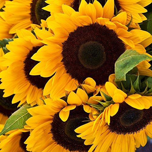 Sunflower Seeds - Mammoth Grey-Stripe - 1/4 Pound, Yellow Flowers