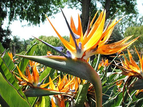 Rare color - Bird of Paradise, flowering exotic Strelitzia Reginae seed 15 seeds