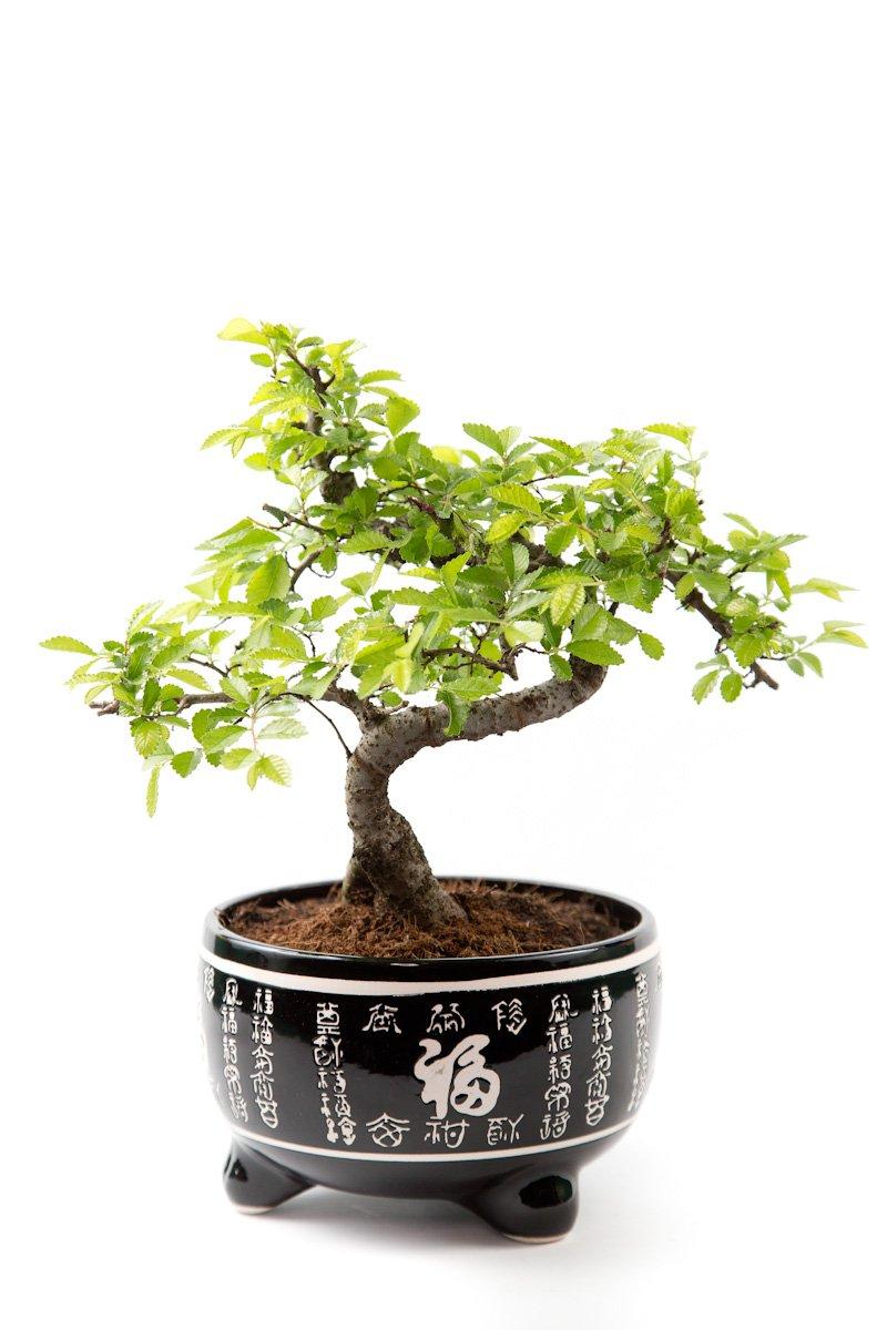 Bonsai Tree - Chinese Elm In Black Ceramic Pot - Tree Height Including Pot 25-35cm