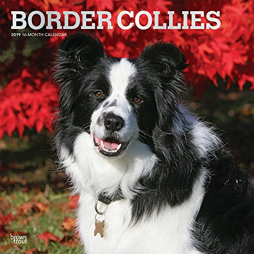 Border Collies 2019 12 x 12 Inch Monthly Square Wall Calendar with Foil Stamped Cover, Animals Dog Breeds Collies