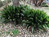 Cast Iron Plant-Aspidistra elatior-Easy to grow - Lot of 5 Rhizomes/Roots