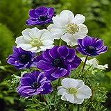 Anemone Coronaria White-Blue - 50 Flower Bulbs