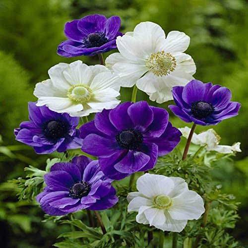 Anemone Coronaria White-Blue - 50 Flower Bulbs by BSSTORE